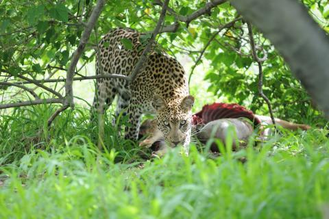 Leopard mit Beute im Moremi Game Reserve während der Lodge Safari Botswana