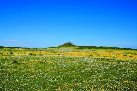 Blühende Blumenwiesen im Namaqualand in Südafrika