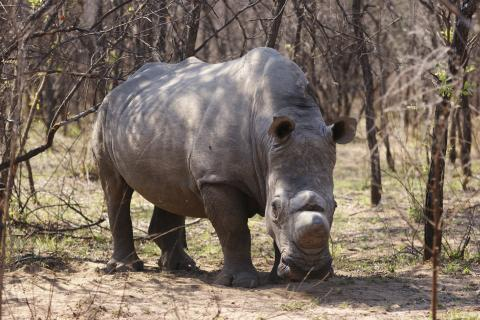 Nashorn im Hwange Nationalpark in Simbabwe