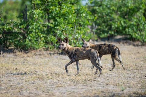 Wildhunde im Savut
