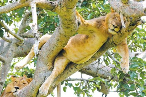 Schlafender Baumlöwe im Queen Elizabeth National Park im ostafrikanischen Uganda