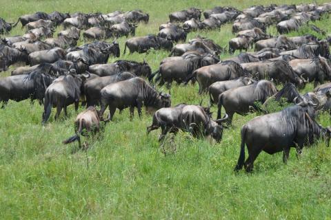 Kenia und Tansania Camping Safari Tour: Ein absolutes Highlight ist die Great Migration im Serengeti National Park (Tansania): Gnu Herde auf Wanderung
