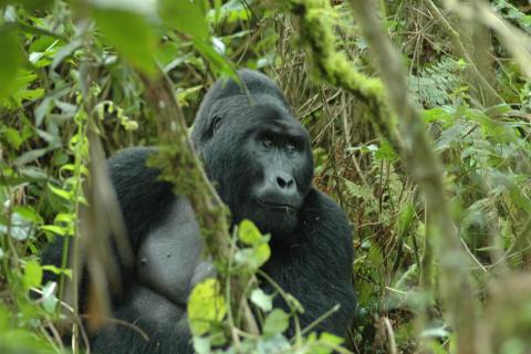 Uganda Gorilla Trekking im Bwindi Impenetrable National Park Uganda: Männlicher Silberrücken im Busch / Urwald auf Gorilla Safari