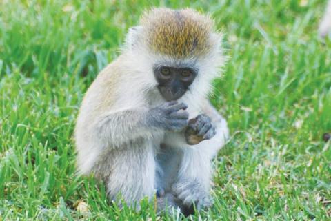 Südliche Grünmeerkatze, auch unter dem Namen Vervet Monkey bekannt ist ebenfalls im Dschungel Ugandas beheimatet