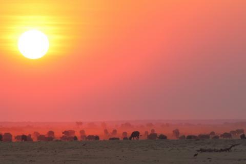 Sonnenuntergang / Sunset über dem Chobe Nationalpark Botswana mit einer Büffelherde