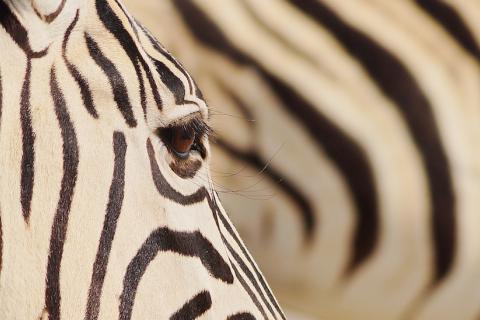 Zebrauage eines Zebras, gesehen im Etosha Nationalpark