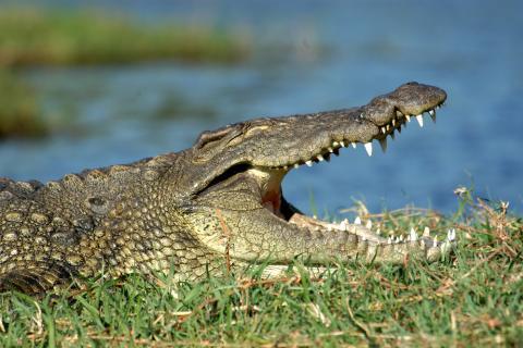 Krokodil am Kwando Fluss