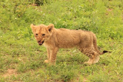 Löwen Junges im Krüger Nationalpark / Südafrika