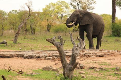 Elefanten Bulle in Südafrika