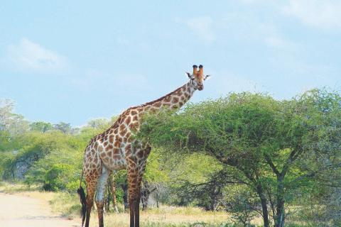 Giraffe bei einer Erlebnisreise durch Botswana