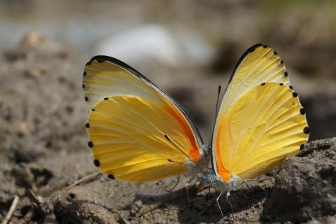 Schmetterling im Caprivi Streifen Namibai