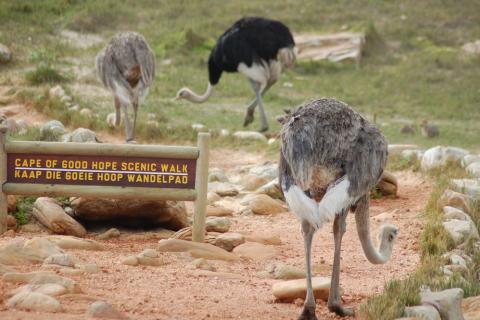 Straussse am Cape Point / Kap der guten Hoffnung