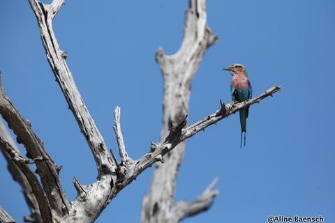 Vogel in der Kalahari