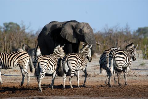 Zebras und Elefanten im Kürger Nationalpark Südafrika