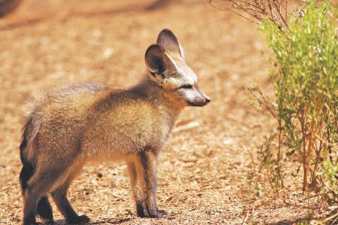 Löffelhund in Nmibrand Namibia  - Safari durch die Namib Wüste