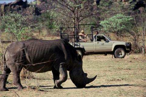 Nashorn Game Drive - Matobos Nationalpark Simbabwe