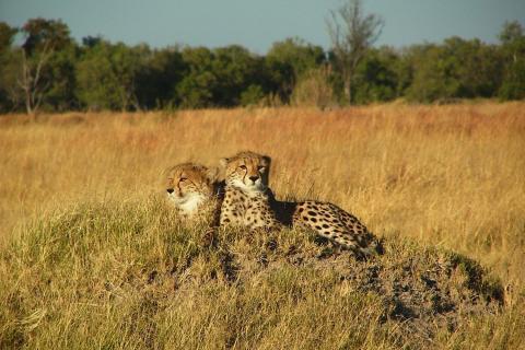 Geparden im Etosha National Park Namibia
