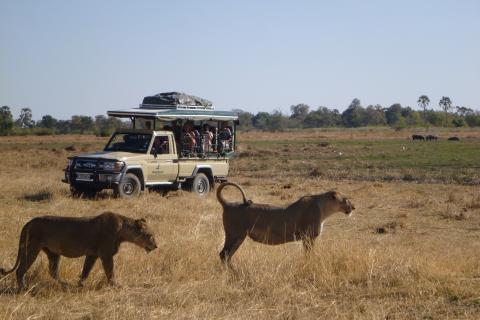 Löwen während einer Pirschfahrt in den Nationalparks auf  Botswana Safari
