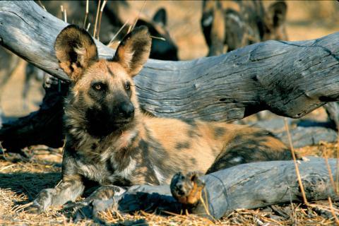 Wildhunde im Etosha Nationalpark