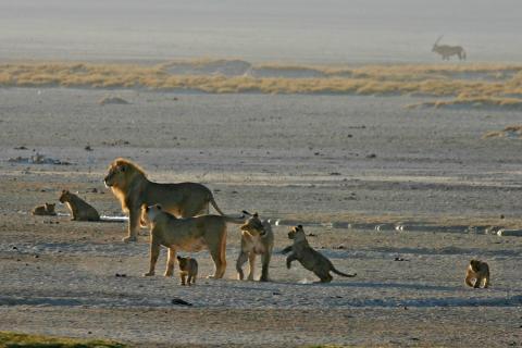 Löwen im Etosha National Park