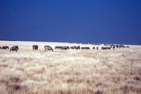 Tierhereden von Büffeln und Zebras im Etosha Nationaprk Namibia