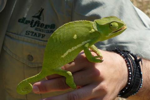 Tierleben und Tierwelt Simbabwes: Leguan auf der Hand eines Reisenden mit Drifters
