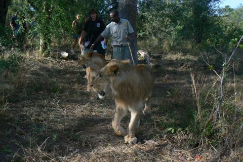Walking Safari am Limpopo Fluss mit einer Begegnung eines Löwens