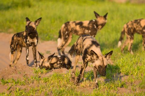 Wildhunde im Savuti Gebiet während der Safari mit Lodge Übernachtung in Botswana