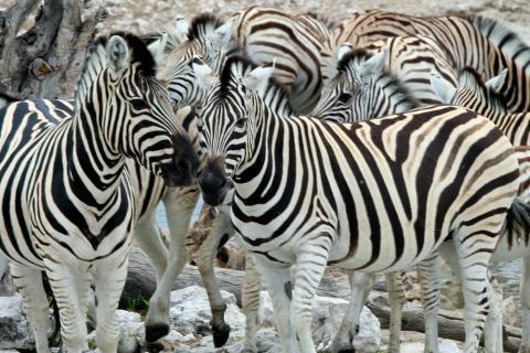 Zebras im Etosha Nationalaprk