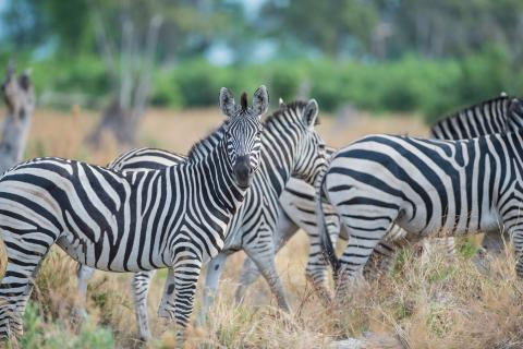Zebras im Moremi Game Reserve Wildpark Botswana