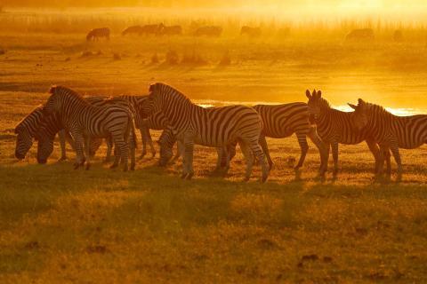 Zebras beim Sonneuntergang in der Dämmerung im unvergleichlichen Chobe National PArk