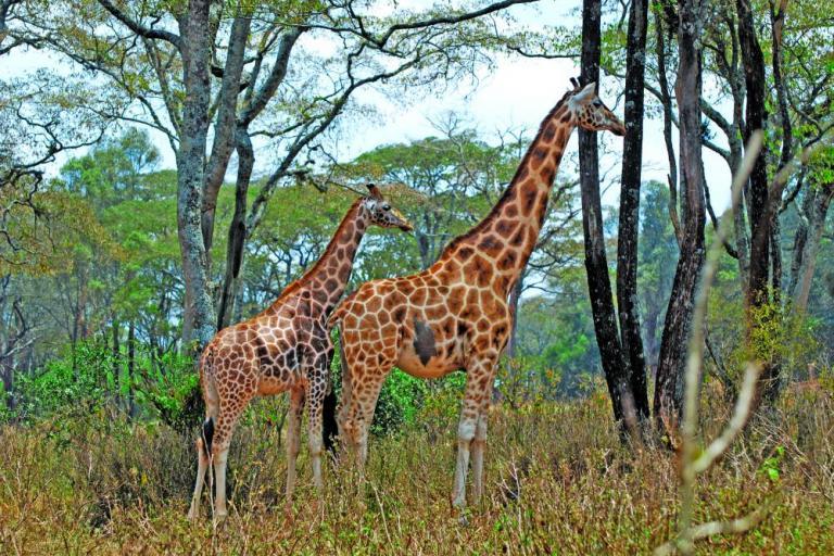 Giraffen in Ostafrika auf einer Camping Safari