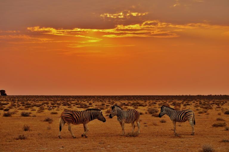 Zebras im Sonnenuntergan im Etosha Nationalpark während einer Namibia Reise