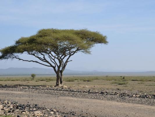 Afrikanische Straße in Ostafrika mit typischen Baum am Straßenrand