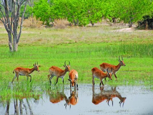 Anthilopen am Fluss im Okavango Delta
