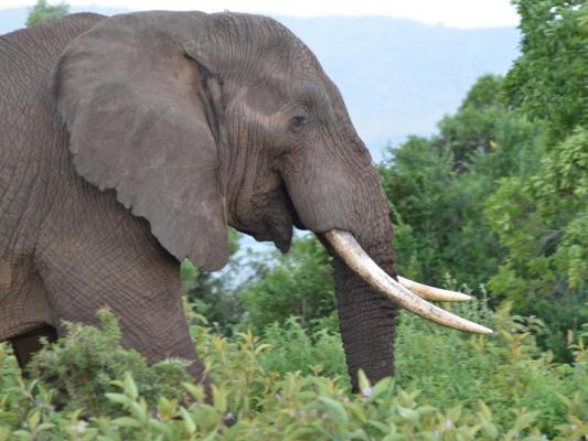 Afrikanische Elefant im Busch
