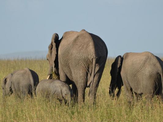 Elefantegruppe in der Steppe mit jungen Elefantenbabies