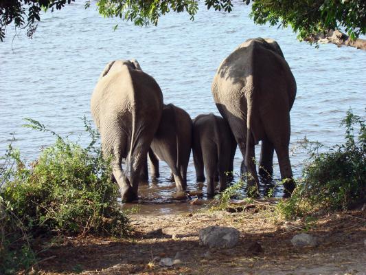 Elefanten beim baden im Chobe Nationapark Botswana