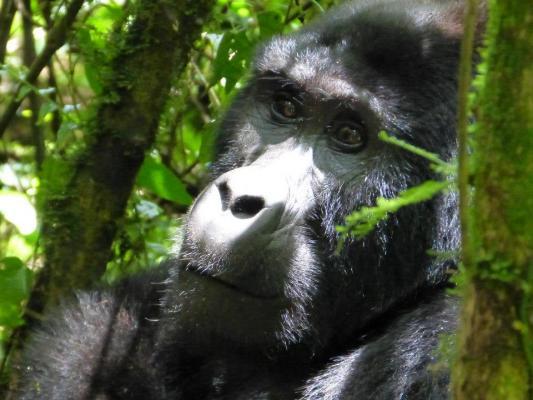 Watussirind in der freien Natur Ugandas