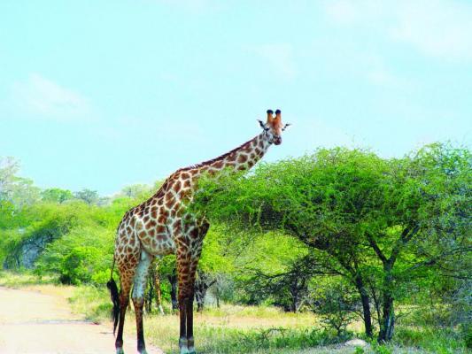 Giraffe im Chobe Nationalpark in Botswana