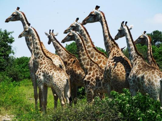 Giraffen Herde in Botswana