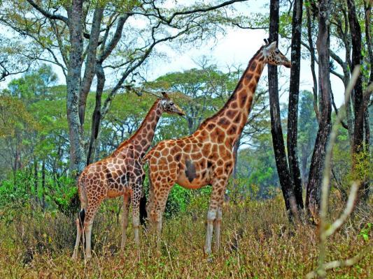 Giraffen beim Fressen in Ostafrika