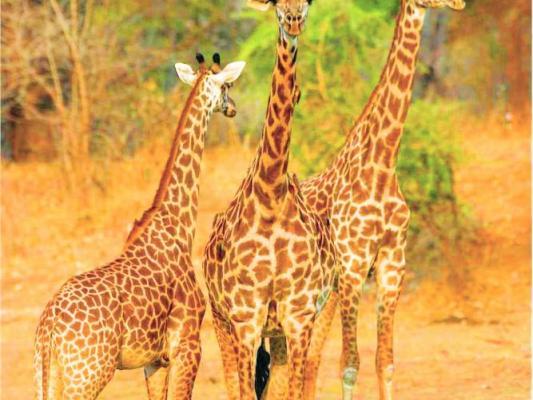 Giraffengruppe in Sambia
