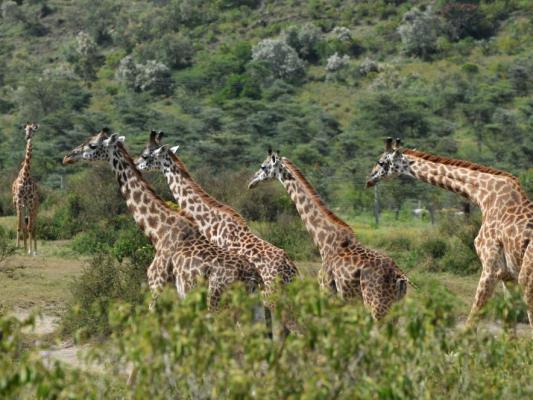 Gruppe Giraffen in Tansania
