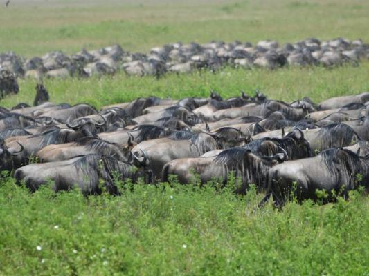 Gnu Herde während der Great Migration in der Serengeti