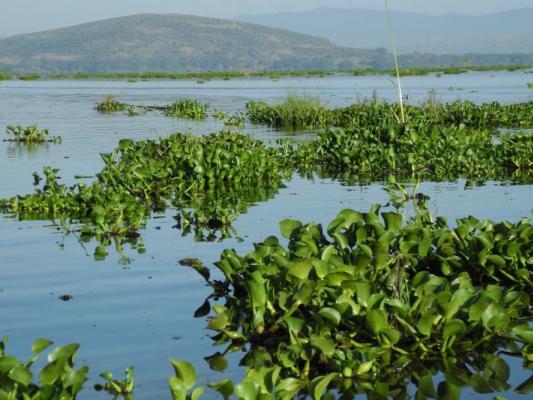 Pflanzen im Lake Naivasha Kenia