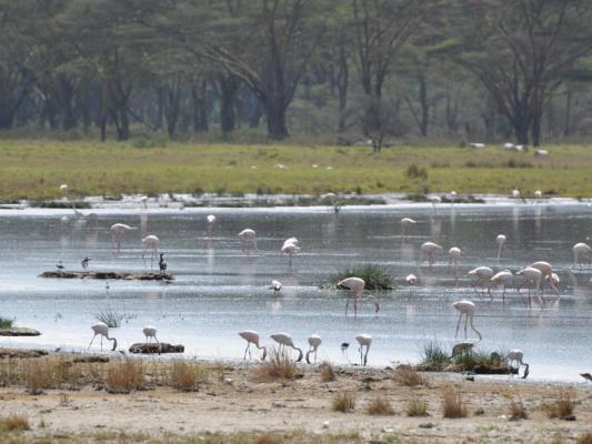 Flamingos auf dem Lake Nakuru in Kenia