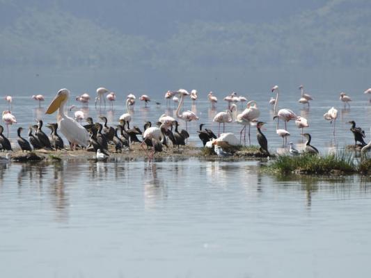 Pelikane auf dem Lake Nakuru in Kenia