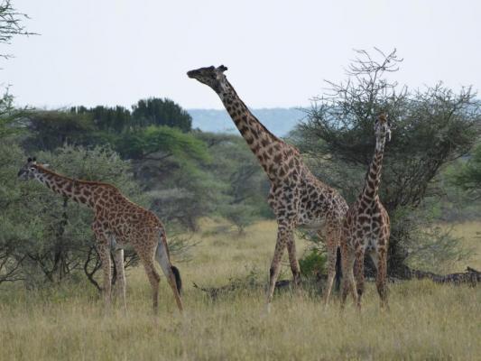 Giraffengruppe auf Kenia Safari am Lake Navisha