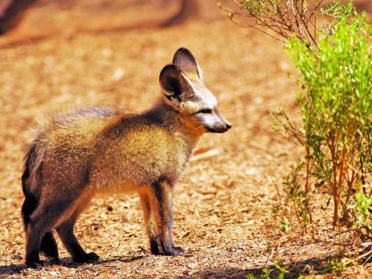 Löffelhund im Namibrand Game Reserve in Namibia
